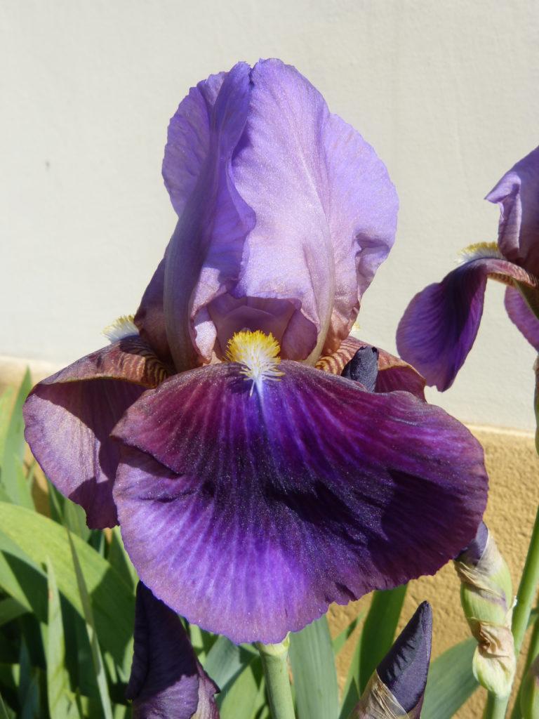 Iris im Vorgarten des Bauernmuseums
